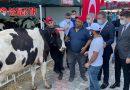 MHP, Manavgat'ta 363 küçükbaş ve büyükbaş hayvan dağıttı